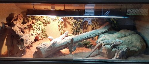 3 Central Bearded Dragons Enclosure