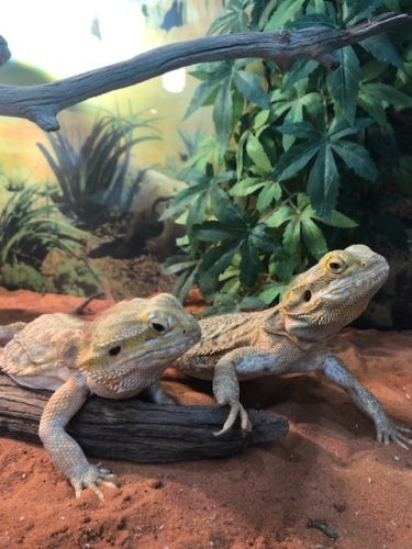 2 X Female Bearded Dragon Including Tank And Accessories