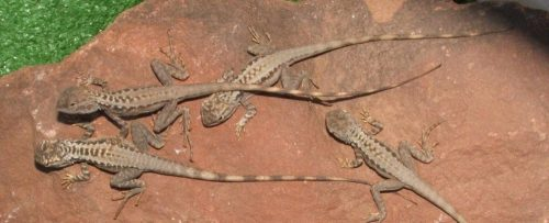 Crested Bicycle Dragon Juveniles